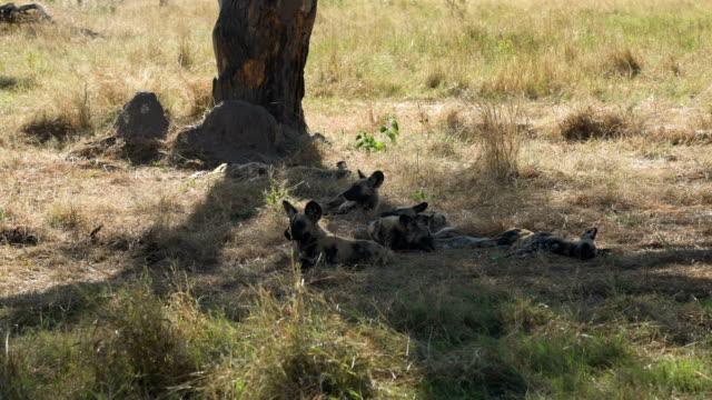 African wild dog video