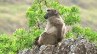 African wildlife - Baboon - video