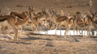 African Wildlife, Sprinbok video