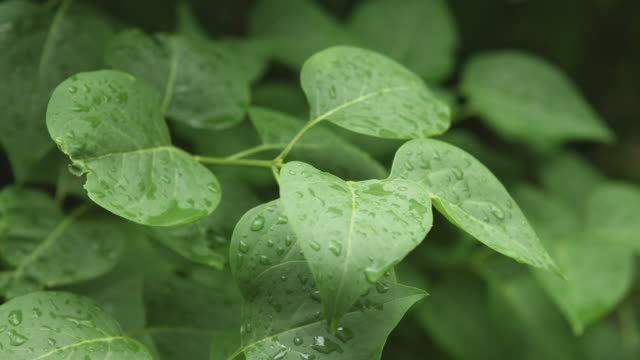 After a heavy rain spring rain drops on the leaves video