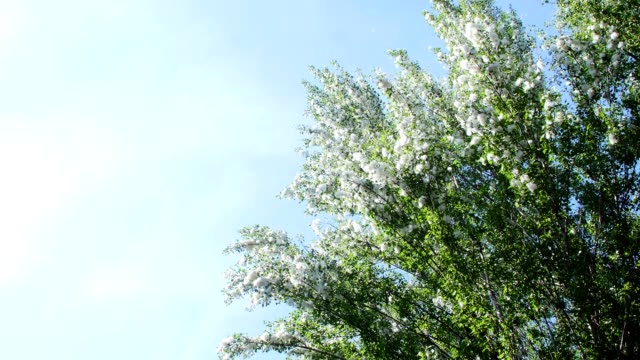 Against the blue sky, in the rays of the sun, large, green poplar branches, all densely covered with bundles of fluff, like tubers of cotton video