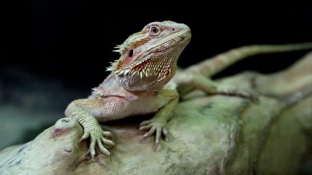 Agama, Australian dragon lizard video