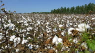 4K CLOSE UP: Agricultural field full of white cotton bolls video