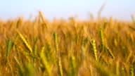 agricultural landscape with wheat field video