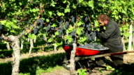 Agricultural Occupation Grape Harvesting video