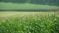 Agriculture. Corn Fields. video