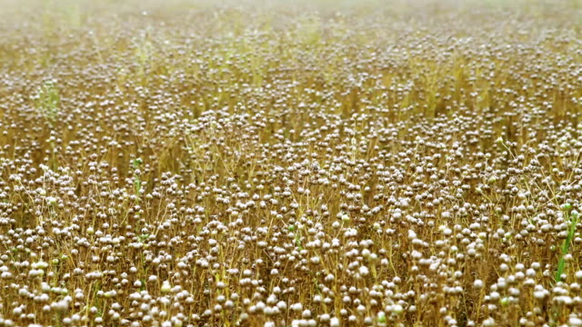 Agriculture harvest time: Flax field at July video