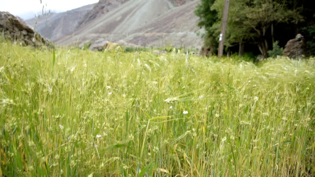 Agriculture Land, Farming View, Nature Background, Barley Ears video