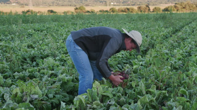 4K Agronomist/farmer inspecting beetroots for signs of disease and nutritional deficiencies video
