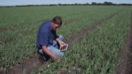 4K Agronomist/farmer inspecting field of onion plants using a tablet video