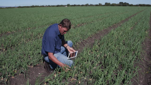4K Agronomist/farmer inspecting field of onion plants using a tablet video