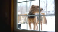 Airedale terrier dog want to return into house from backyard video