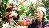 Akha Woman Harvesting video