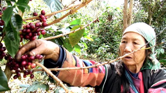 Akha Woman Harvesting video