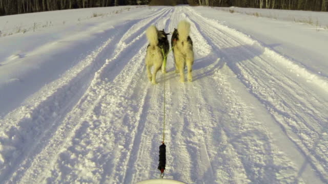 Alaskan malamutes ride video