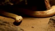 Albinos monocled cobra video