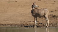 Alert kudu antelope video