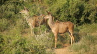 Alert kudu antelopes video