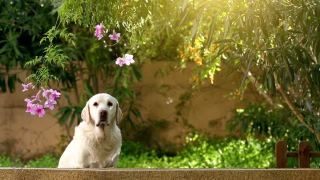 alert senior labrador dog in the garden video