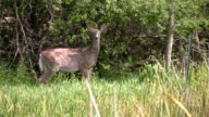 Alert white tailed deer in tall grass video