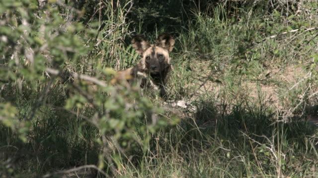 Alert wild dog lying in African bush. video