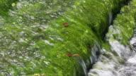algae in the river video