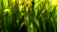 Algae in the sea water video