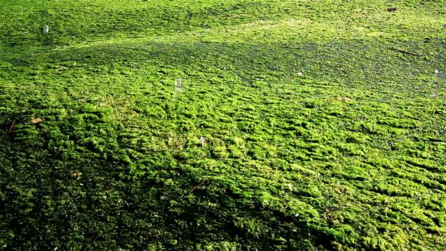 Algae video
