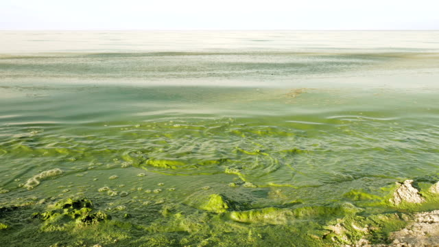 Algal bloom polluted water green color in lake video