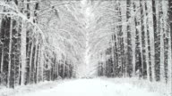 Alley and the row of a trees in a winter forest video