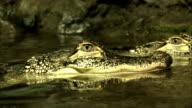 Alligator close in water video