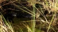 Alligator in the Everglades Floridas wildlife video
