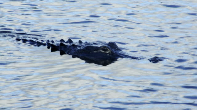 Alligator in the Everglades video