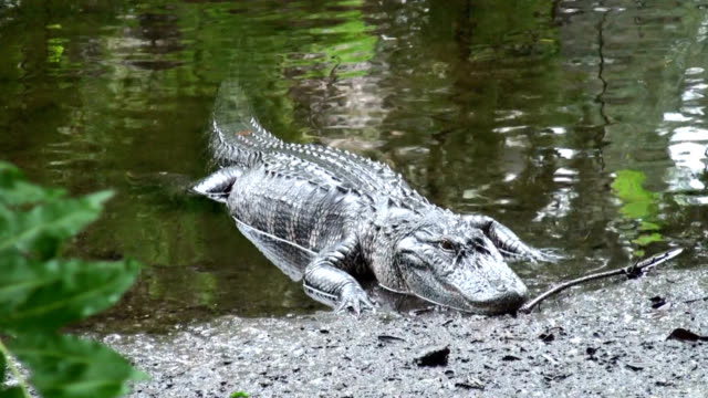 Alligator mississippiensis comes ashore video