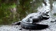 Alligator mississippiensis resting at edge of river and raises head video