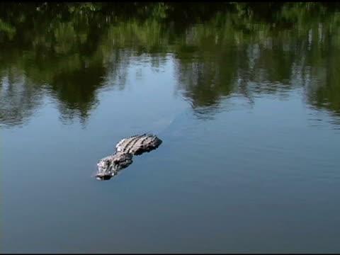 Alligator Swimming Towards the Camera video