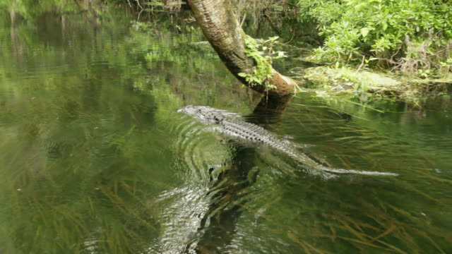 Alligator swimming video