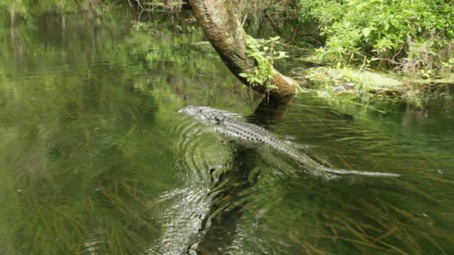 Alligator swimming video