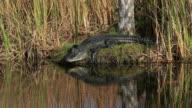 Alligator video