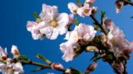 Almond blossom spring background video
