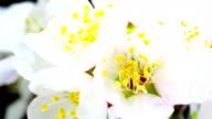 Almond flower blooming in extreme macro shot video