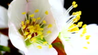 Almond flower blooming in extreme macro shot video