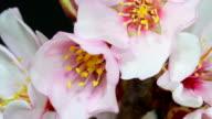 Almond flower blooming video
