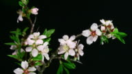 Almond flowers blooming video