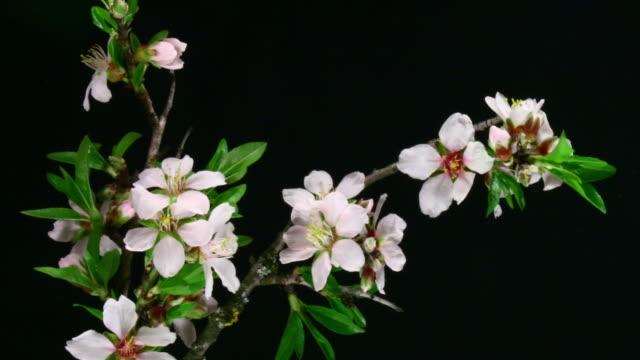 Almond flowers blooming video