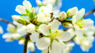 Almond tree flower growing timelapse video