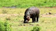 Alone Hippo grazing under sun with covered mud video