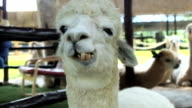 Alpaca is chewing video