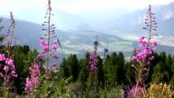 Alpine flowers video