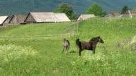 HD: Alpine horses video